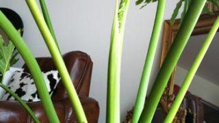 セロームを、我が家のシンボルツリーにしたらどうだろうか