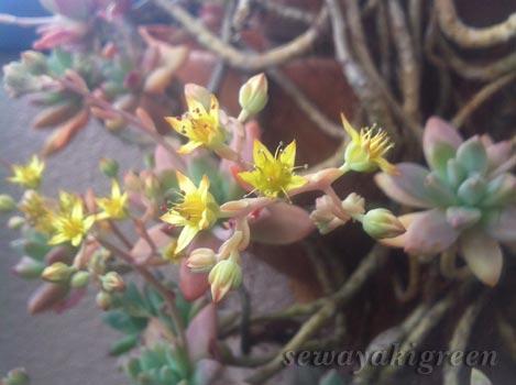 徒長した多肉植物の花