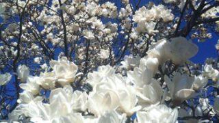 青空バックに、白いこぶしの花が眩しくて、ため息…