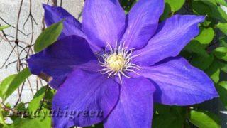 【クレマチス】毎年GWにあわせて、咲いてくれるから