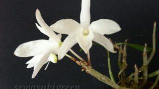 石斛(セッコク)【白雪】の花を美人に撮影してあげる試み