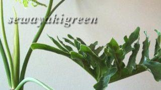 【セローム】葉が広がっても平気だよ。部屋に植物があるって素敵だから
