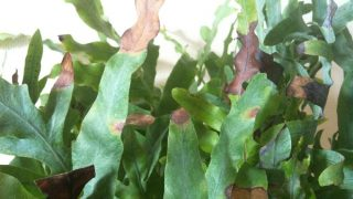 【フレボディウム ブルースター】案の定、葉を焦がしました
