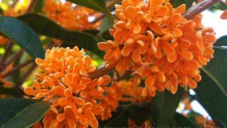 圧倒的な存在感!!【金木犀(キンモクセイ)】の花の香りで秋到来を実感。活用法は?