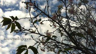 四季桜を見つけてホッコリ。まもなく【小原四季桜まつり】(愛知県豊田市)開催です