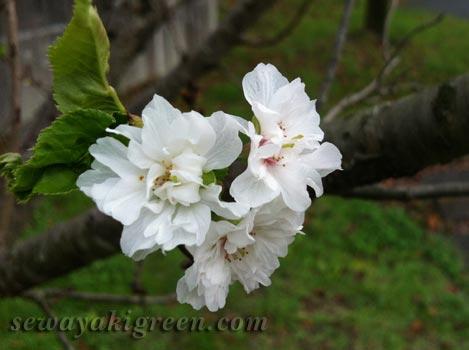 四季咲き桜