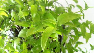 流通するアスパラガスは主に4種類。【アスパラガス スマイラックス】を育てています