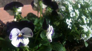 ビオラ植えつけの季節。しっかり育てて長く咲かせる為の苗選び