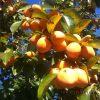 【干し柿作りのコツ】熱湯or焼酎で殺菌消毒は、本当に必要だろうか?