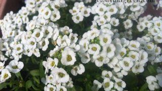 【スイート・アリッサム】かわいい花が放つ香りは、○○○○の香り