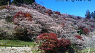 【小原四季桜まつり】秋に、紅葉と満開の桜を同時に見ると、人はどう感じるか