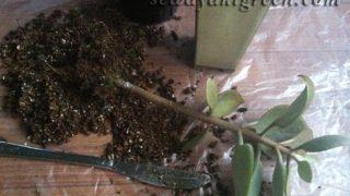 カランコエ【仙人の舞】は、寒がりです。2年間の成長変化&植え替え