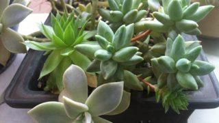 盆栽鉢に植えた多肉植物の寄せ植え。かなり自由に育ってます