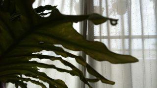 時々、セロームの葉に雫がつく話