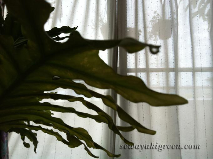 セロームの葉にしずく