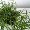 放置が有効でした。よくよく見ると、芽吹いているリプサリス