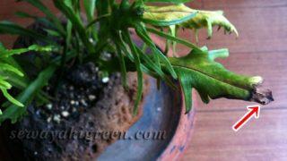 冬の観葉植物の水やり。これが結構、難しくて…