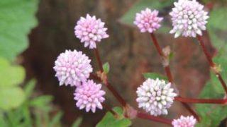 植物図鑑とも、アート本とも言える「日本の帰化植物図譜」