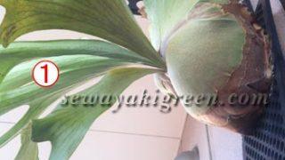 オススメの観葉植物は何ですか?と聞かれて選ぶ1鉢【その2】