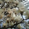 コブシの花が開花、そして新人時代の思い出