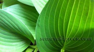 【ギボウシ】植替え成功。これほど丈夫で美しい植物もないよな、と惚れぼれ