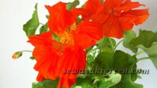 【エディブルフラワー】育てたナスタチウムの花をサラダに入れて食べたい!!