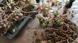 盆栽鉢の多肉植物寄せ植えを植え替えしました