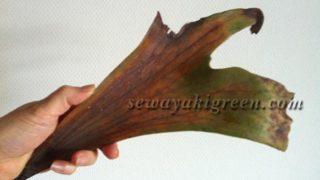 落ちたビカクシダの胞子葉は、まさに鹿の角ですね