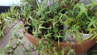 たくましく暮らす植物たち。おかげでベランダは、ジャンクガーデンまっしぐら