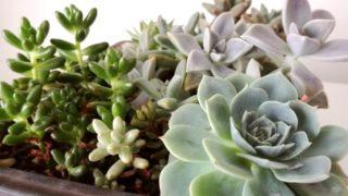 多肉植物の寄せ植えは、果たして植物好きを満足させるか?という話