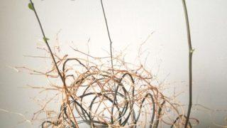 気付けば、アスパラガス スマイラックスの芽が伸びています