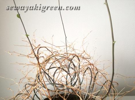 アスパラガス スマイラックスの芽
