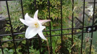 タカサゴユリが咲いています