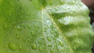 水をはじく葉っぱを見て、考えたこと。アポトーシスのこと。撮影のこと