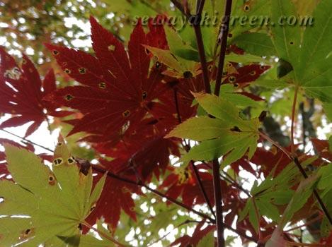 アポトーシスの葉