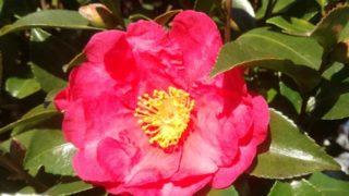 椿の花が、ポトリと首から落ちるわけ