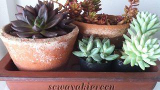 盆栽鉢に寄せ植えするのをスタンバイしている多肉植物群