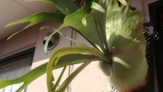 寒さ厳しい中、調子悪い植物が多い中、我が家のビカクシダの今