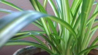 冬を乗り切ったオリヅルラン。鉢との組み合わせでいろんな表情で楽しめそう