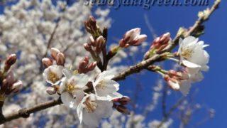 早咲きの桜が満開で、季節の巡りを実感