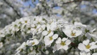 ハチミツの香り漂わせていたのは、雪柳の花でした