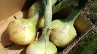 畑仕事。野菜の苗、植え付けスタートです