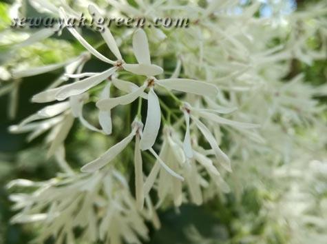 ナンジャモンジャの花