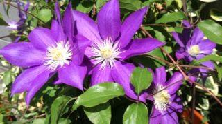 毎年、GW中に咲くクレマチス。どこであろうと世話するのは結局、私