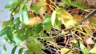 アスパラガス スマイラックス。葉が落ちて、新しい蔓が伸びるサイクル