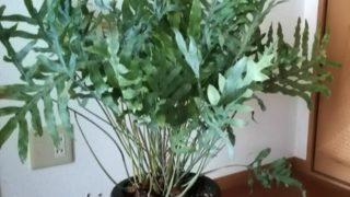色の悪い葉はカット。フレボディウム ブルースターならすぐに葉がでます