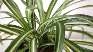 ランナーの先で育つオリヅルランの子株を植えつけ