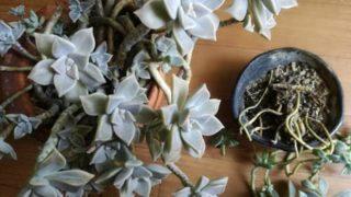 朧月(おぼろづき)の植え替えで鉢数を減らす