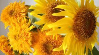 畑のひまわり満開。切り花を楽しんでいますが、ひまわりって水揚げが悪い?