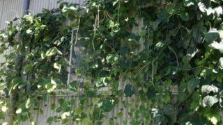会社の緑のカーテン、何の苗かがようやく判明